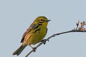 Prairie Warbler/Dendroica discolor