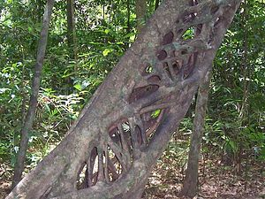 English: hollow strangler fig at Cape Tribuala...