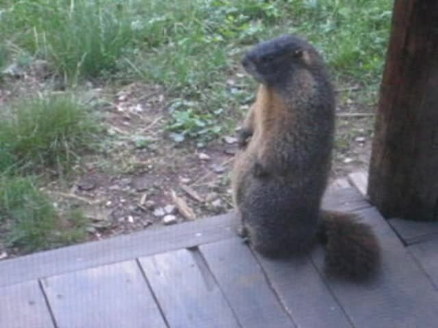 File Adult Marmot Whistling Ogv Wikimedia Commons