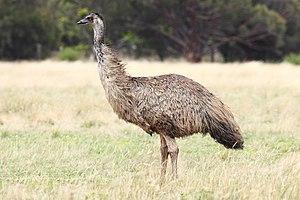 Emu-wild.jpg