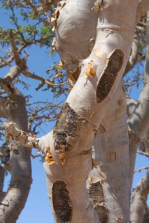 Frankincense tree (Oman)