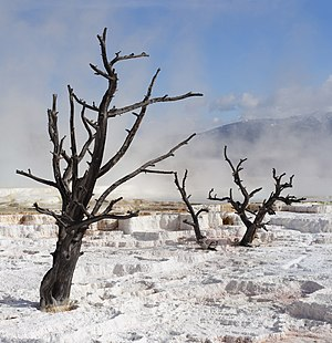 Dead trees in the terraces of Mammoth Hot Spri...