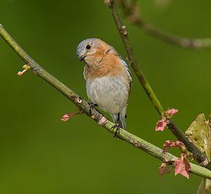English: Eastern bluebird