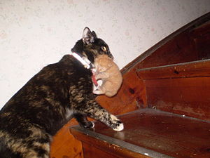Tortoiseshell cat carrying her kitten up a fli...