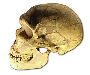 moulage du crâne d' Homo neanderthalensis de L...