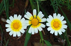 English: Flowers of Crown Daisy (Glebionis cor...