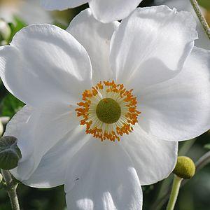 Anemone hupehensis, Anemone hupehensis var. ja...