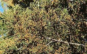 English: Juniperus ashei foliage and pollen co...