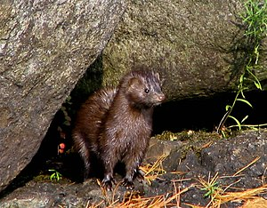 A mink on Lower Saranac Lake. Taken by User: M...