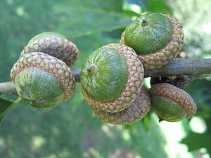 A group of acorns.