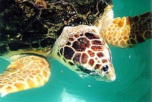 Loggerhead turtle (closeup)