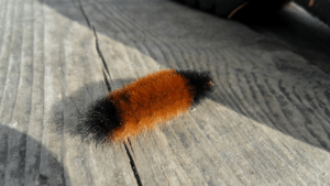 English: Fuzzy caterpillar.