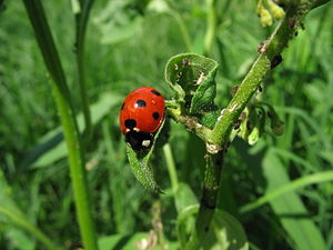 A ladybug, (Coccinella sp., probably C. septem...