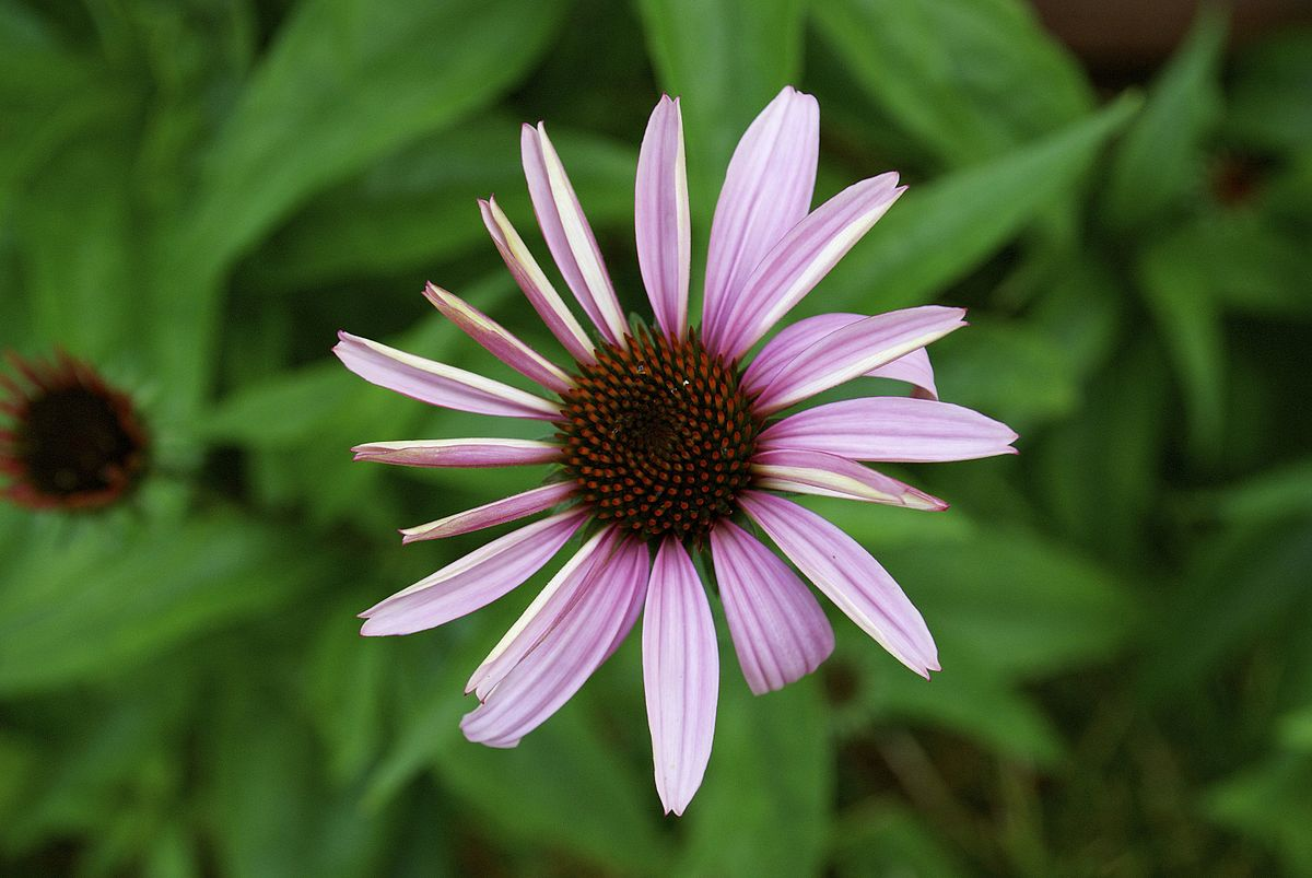 Echinacea purpurea - Wikimedia Commons