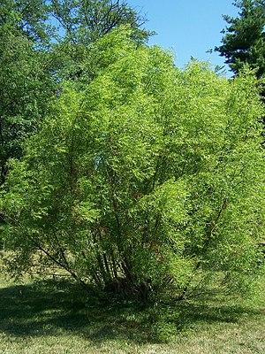 Black Willow, Salix nigra. Morton Arboretum ac...