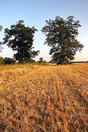 English: Stubble field, Little Saxham The farm...