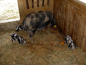 de: Turopolje-Schwein mit Ferkel, Wildpark Elf...