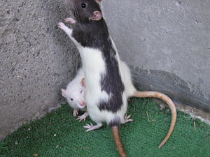 English: Two rats, one hooded, one white.