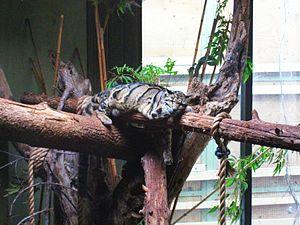Indomalaya Clouded Leopard (Neofelis nebulosa)...