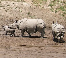 Indian rhinoceros (from left to right: infant male, adult female, and juvenile female)