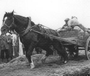 English: Finnhorse Stallion Murron-Ryhti 3531 ...