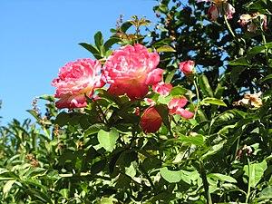 Unidentified pink hybrid tea roses against lea...