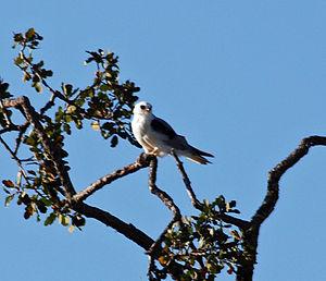 English: White-tailed Kite atop oak at Pearson...
