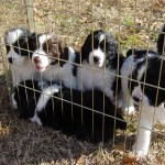 File English Springer Spaniel Puppies Jpg Wikipedia