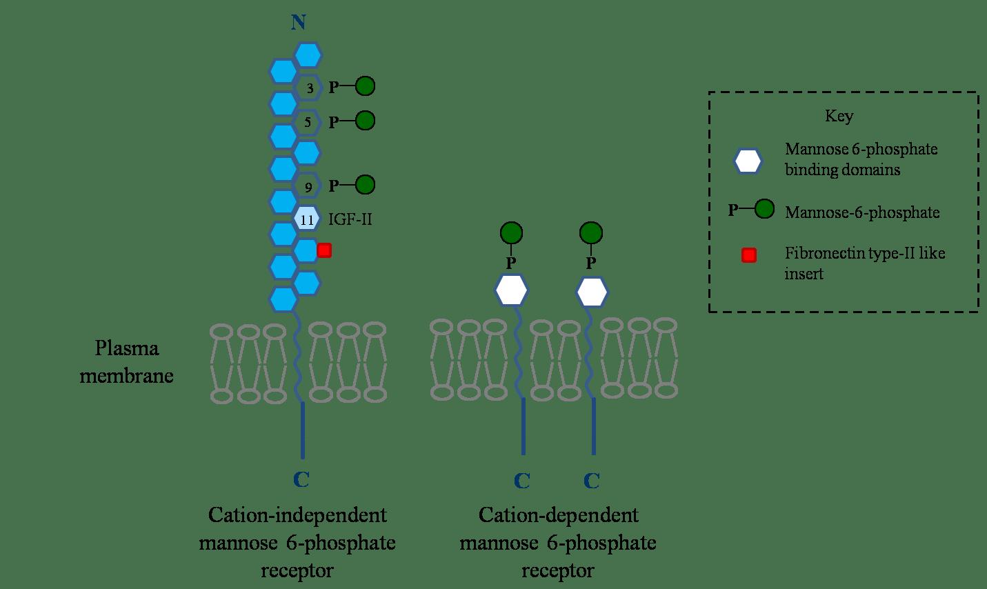 P Monomer Diagram