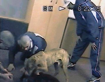 Dog fighting gang members caught on hidden surveillance camera  Girl Pitbull Dog Names