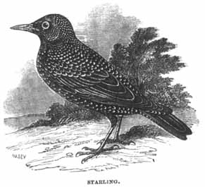 Starling - Project Gutenberg eBook 11921