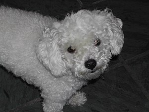 Poodle looking up