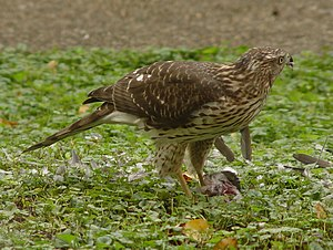 Immature Northern Goshawk with fresh kill
