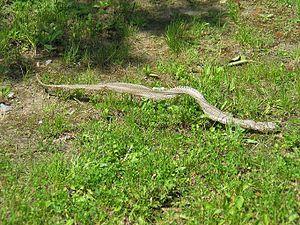 Moulted snake skin