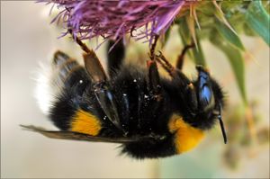 Bombus polaris, a polar bumble bee