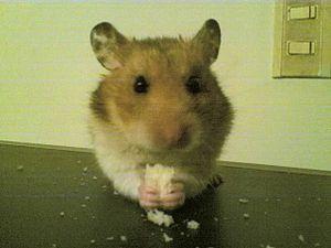 Hamster duitama