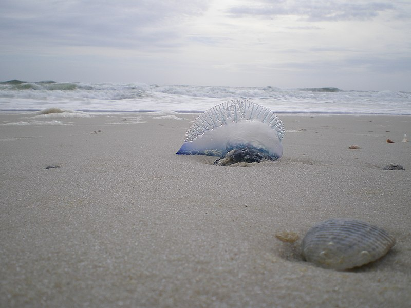 Portuguese Man o War Gulf Shores Alabama. By Joey Eads