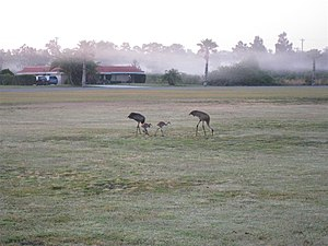 Florida Sandhill Cranes with young grazing for...