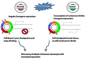 Diagram showing upregulation of antisense tran...
