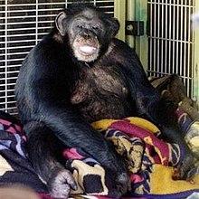 travis chimpanzee wikipedia
