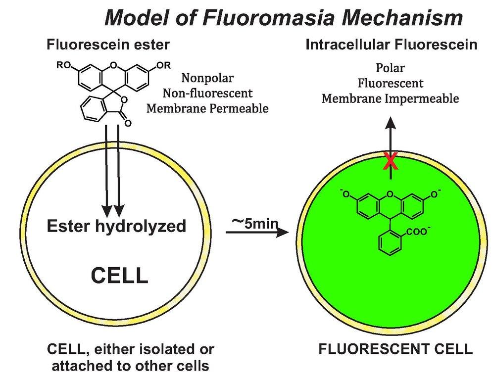File Schematic Diagram Of Fluorochromasia Molecular