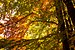 Tilia foliage in autumn colors from Ekoparken ...