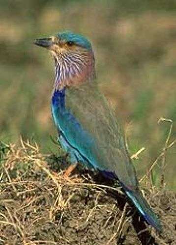 Photo of olive-winged bird with sky-blue head/vest.