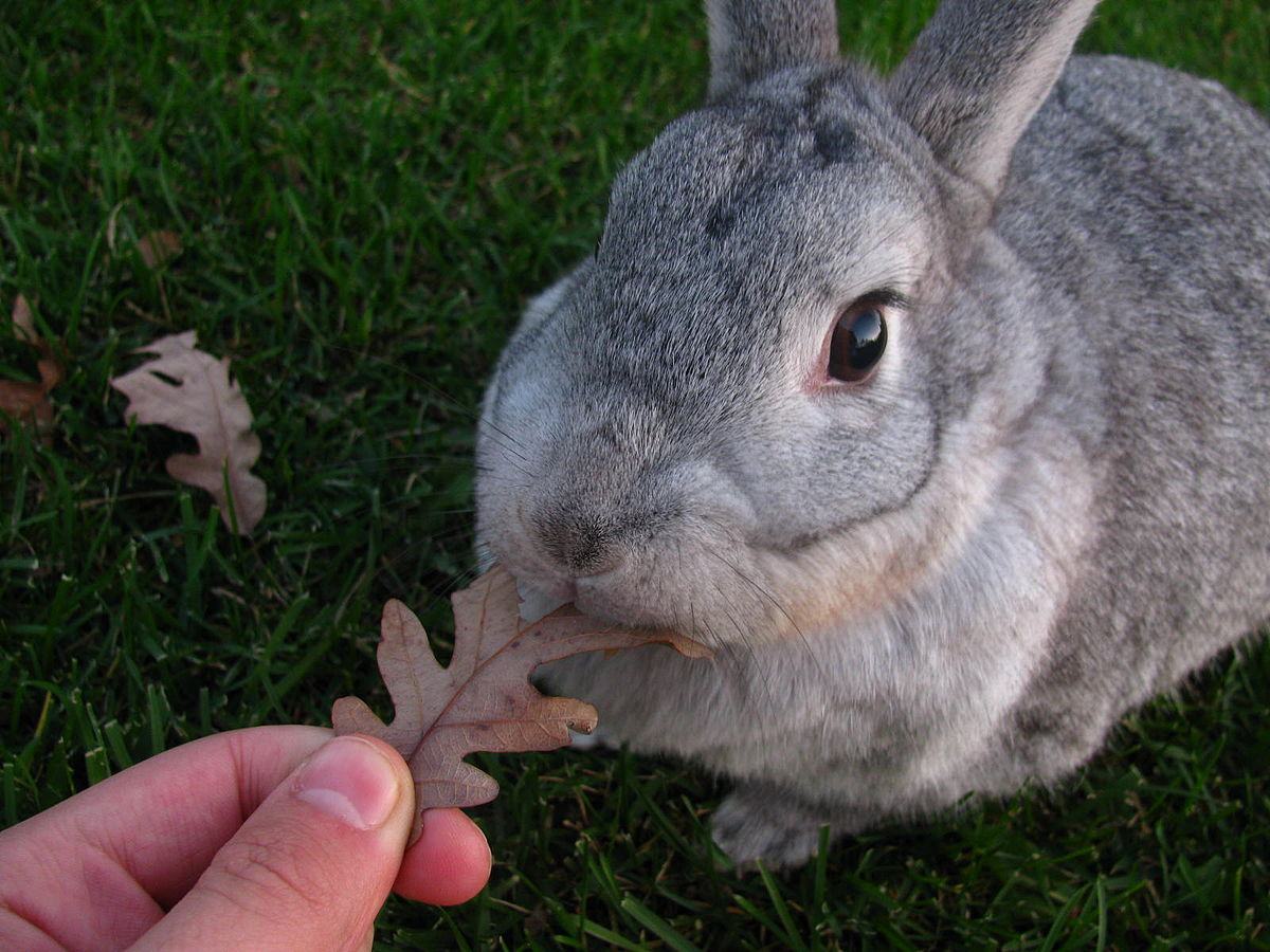 Chinchilla Rabbit Wikipedia