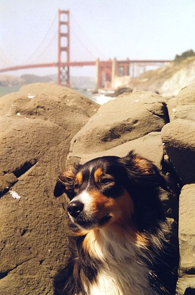 Photo: Rob Brown: http://en.wikipedia.org/wiki/File:Englishshepherdsanfrancisco.jpeg