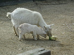 A mother goat and kid in the city farm.