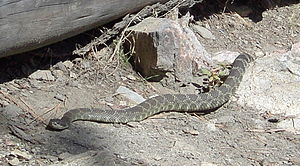 Rattle snake penticton