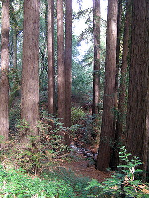 Redwood grove on north flank of Sonoma Mountai...