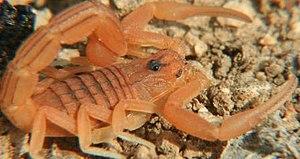 Scorpion 8 eyes