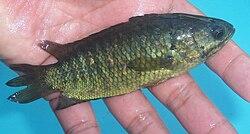 Ikan betok, Anabas testudineus